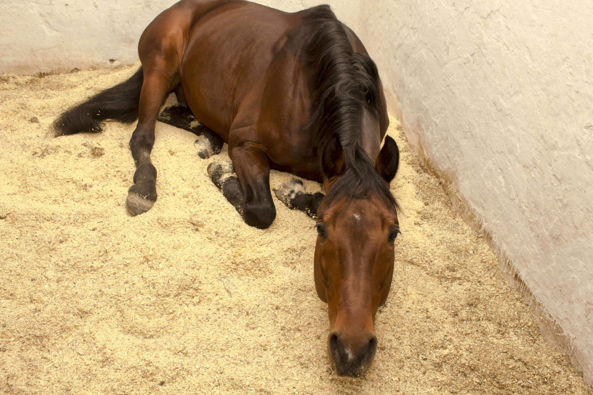 Horse laying down
