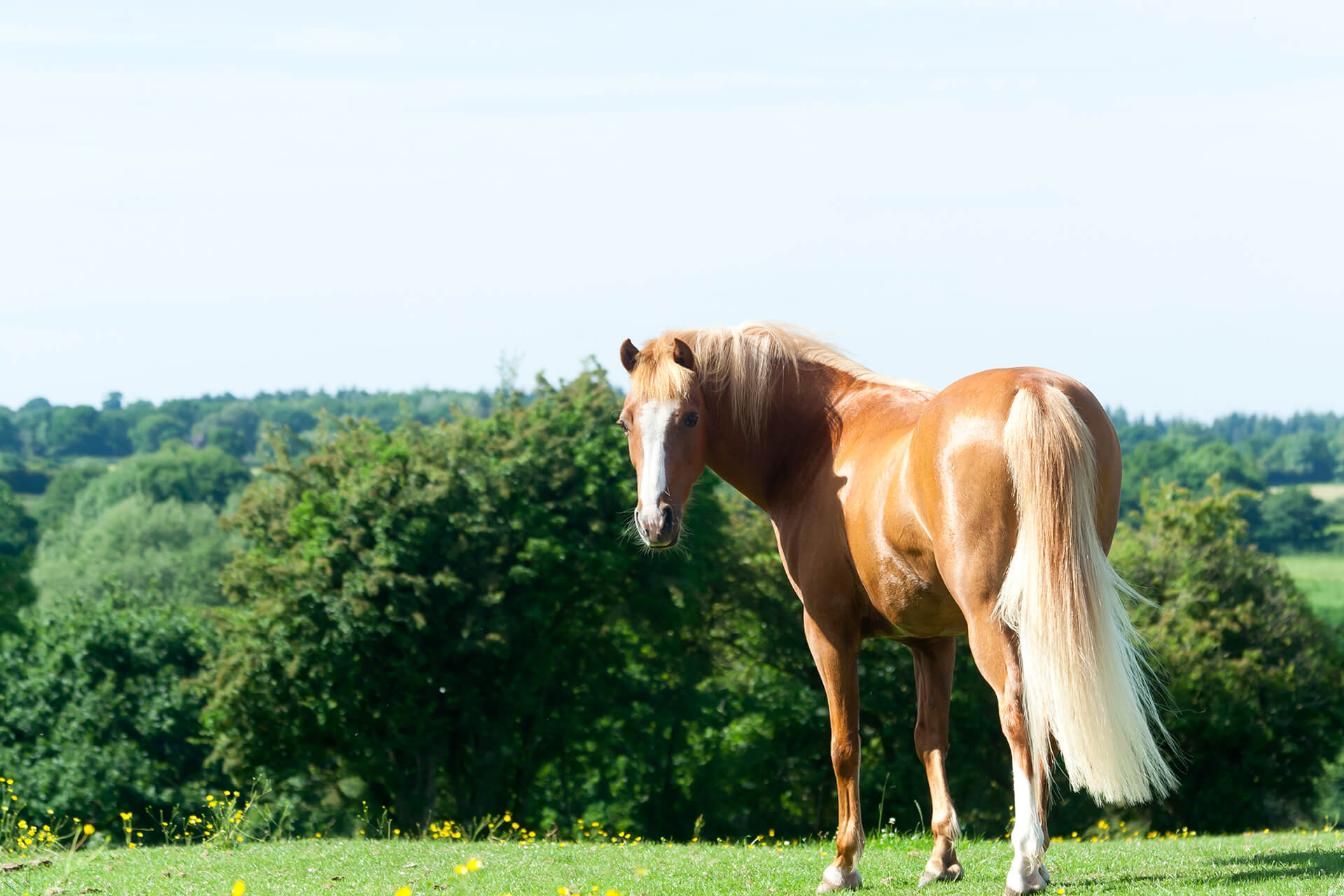 palomino horse standing in a field