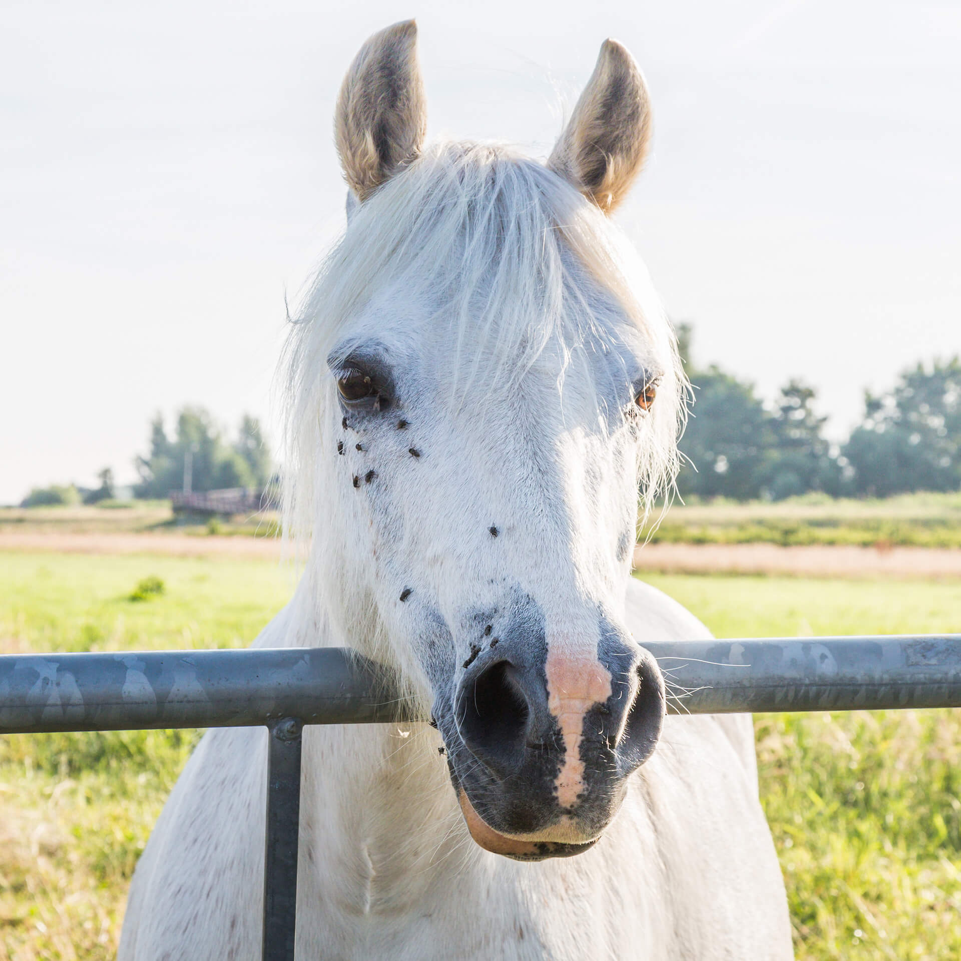 gray horse with flies on face