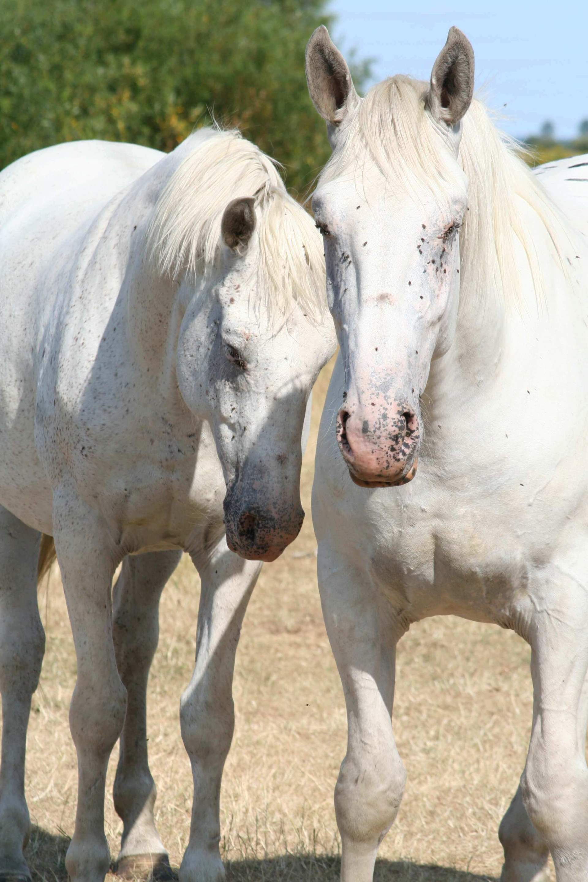 Horses covered in flies