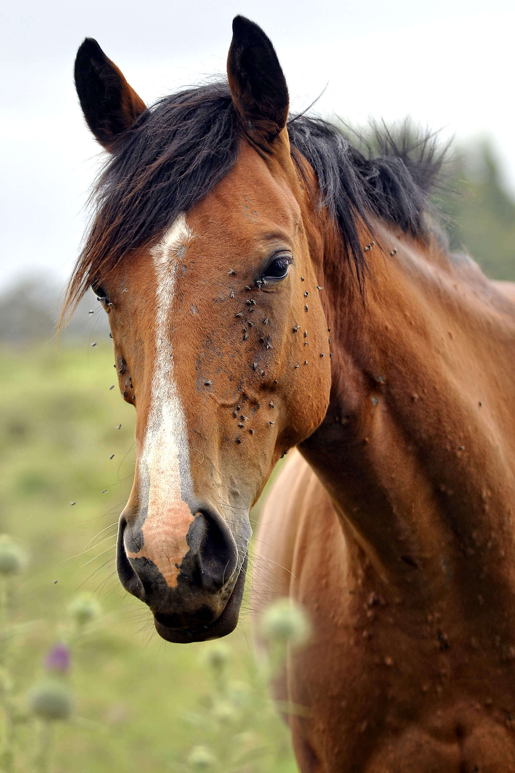 Horse covered in flies
