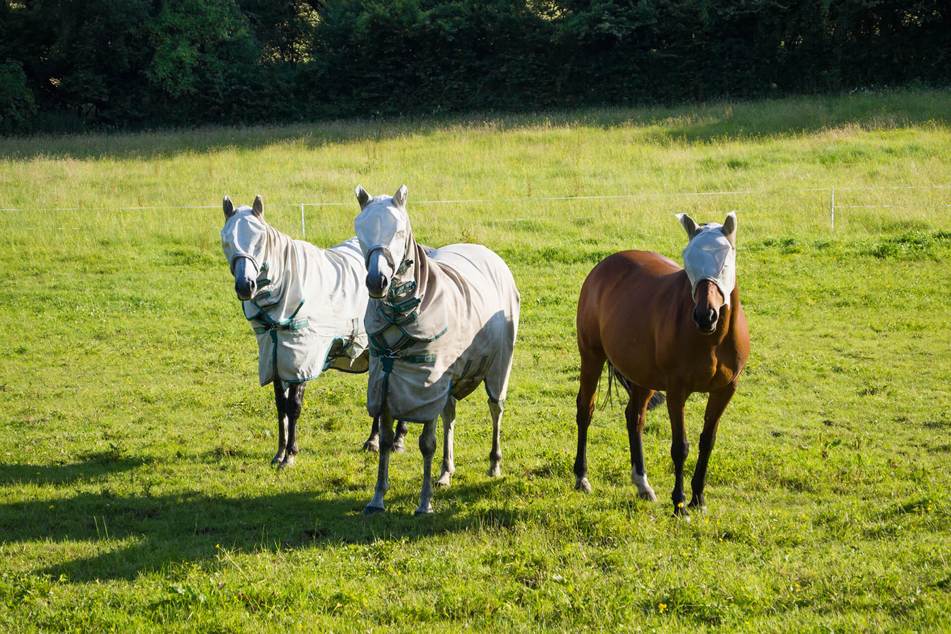 horses in fly sheets