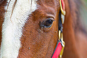 The Importance of Fly Control for Healthy Horses