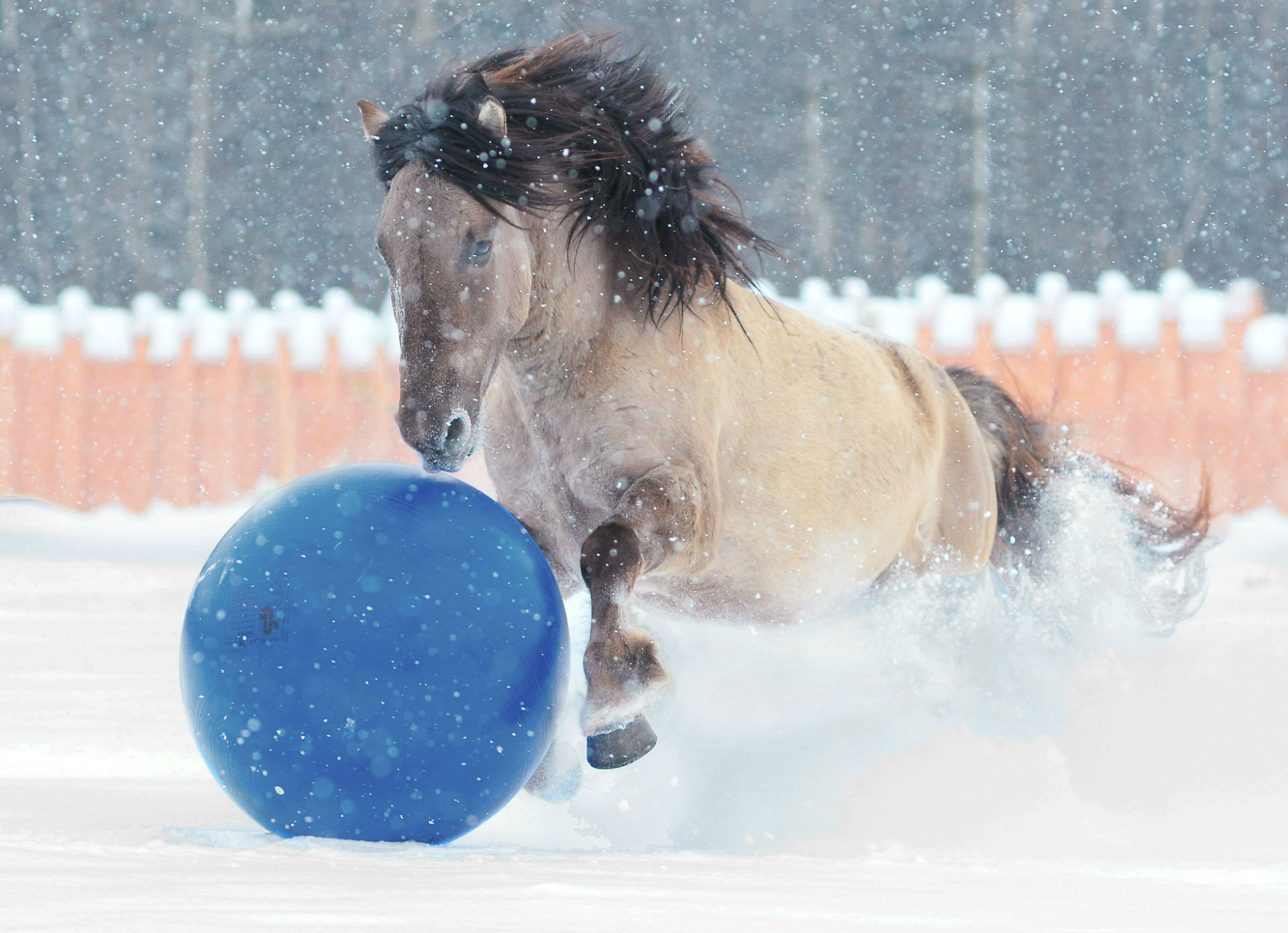 horse playing with ball in snow