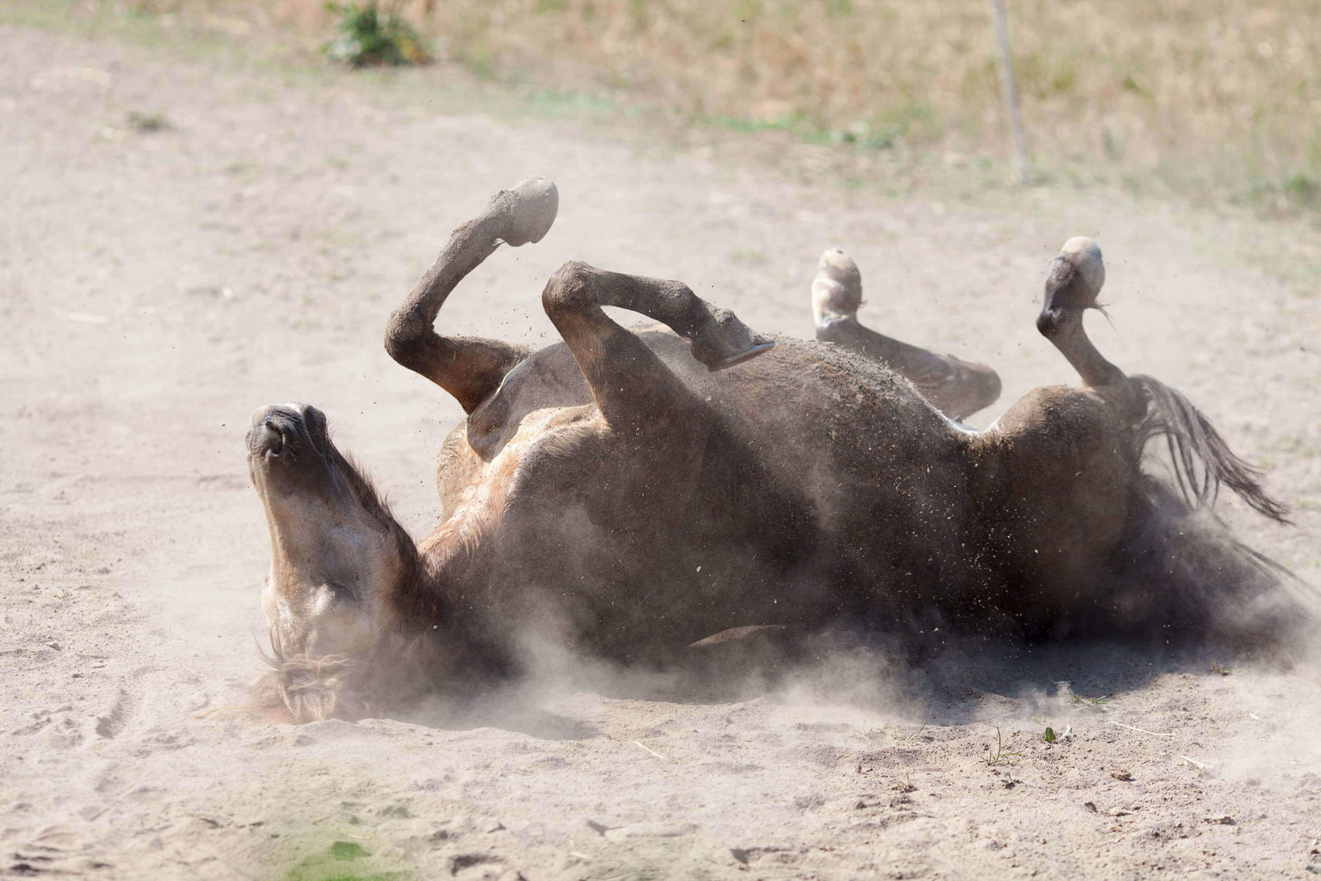 Horse Rolling in Dirt