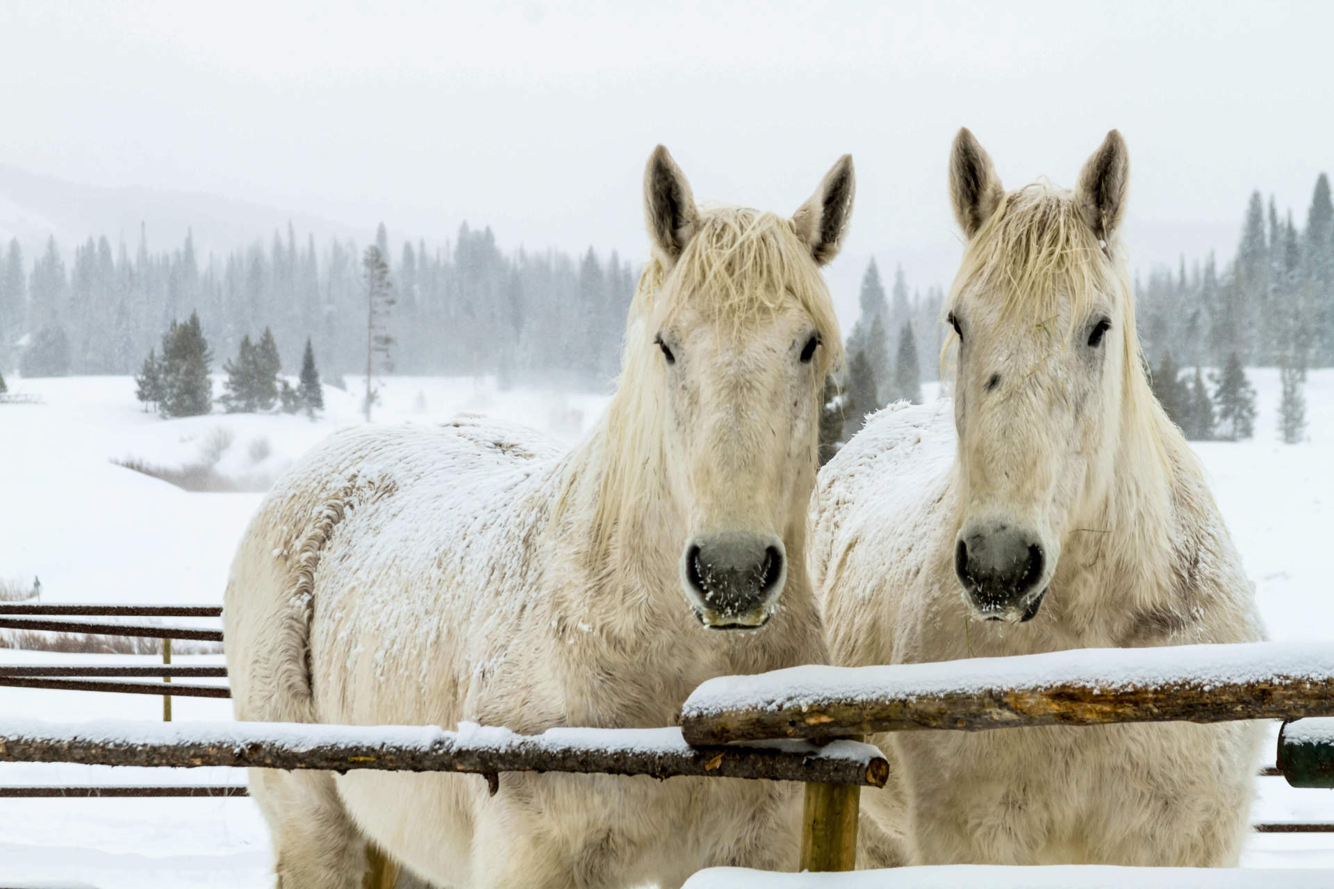 Two White Horse in the Snow