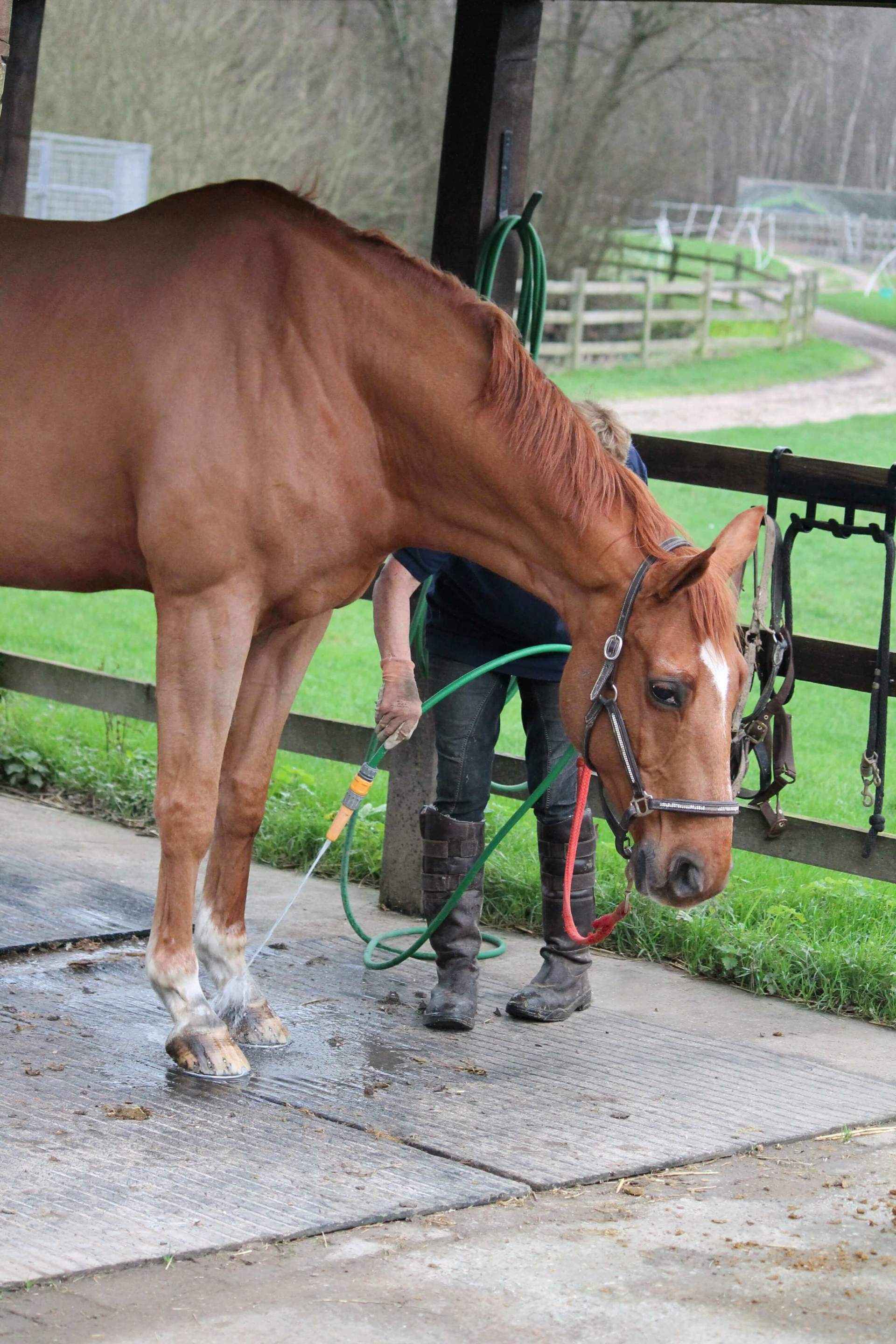 Horse's feet getting hosed down