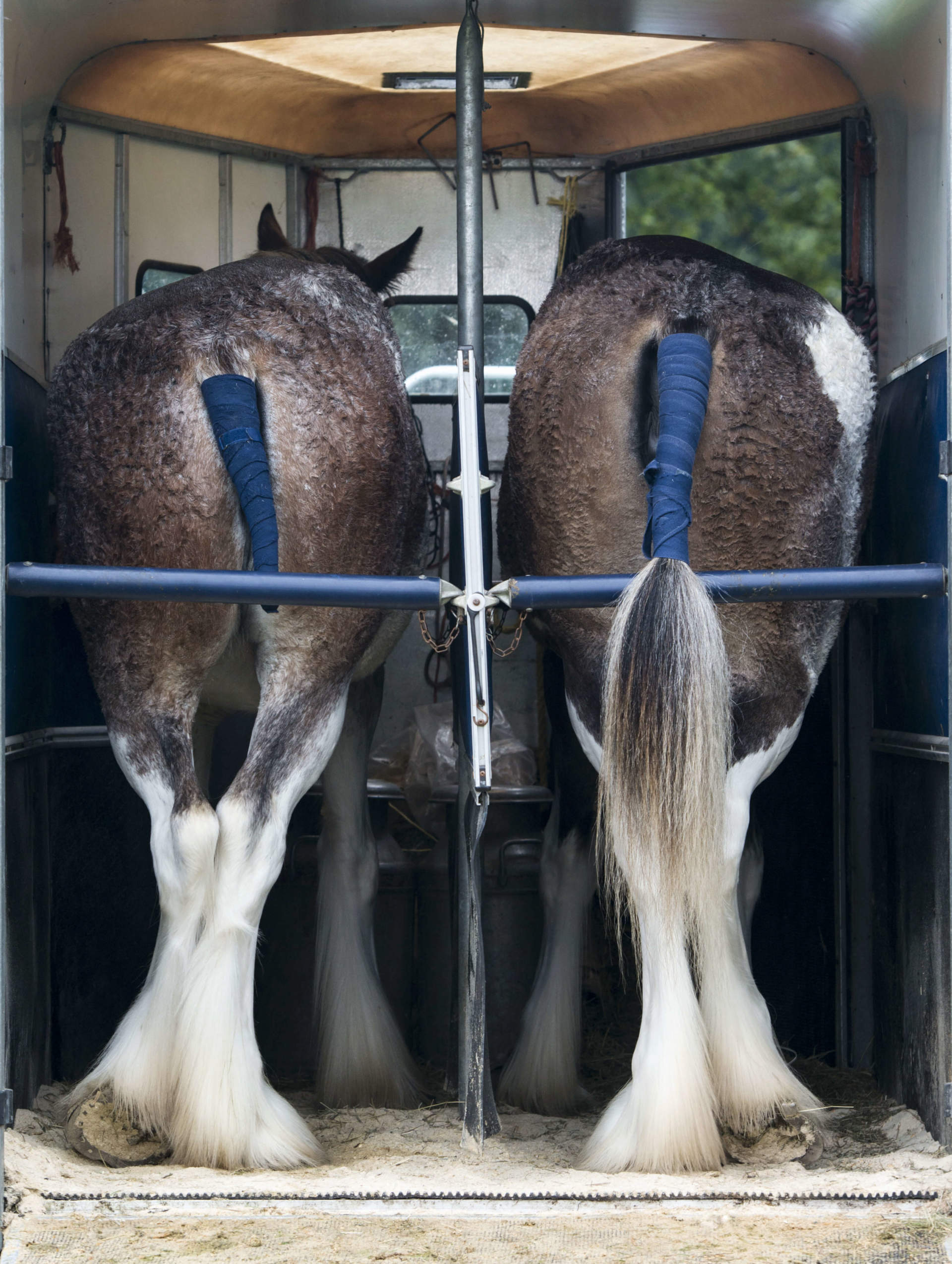 Two Horses in a Trailer